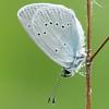 Small Blue, Cupido minimus P1250416