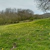 Kithurst meadow with Cowslips, Primula veris (4)