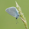 Small Blue, Cupido minimus P1250441