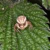 Crab Spider, Xysticus cristatus 0757