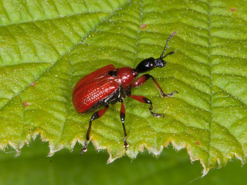 Hazel Leaf-roller Weevil, Apoderus coryli 0768
