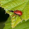 Hazel Leaf-roller Weevil, Apoderus coryli 0764