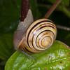 White-lipped Snail, Cepaea hortensis 1489