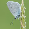 Small Blue, Cupido minimus P1250420