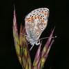 Brown Argus, Aricia agestis 1198