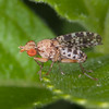 Snail-killing fly, Trypetoptera punctulata 9632