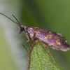 Red-barred Gold, Micropterix tunbergella 1567