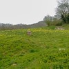 Kithurst meadow with Cowslips, Primula veris (1)