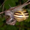 White-lipped Snail, Cepaea hortensis 1377