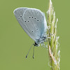 Small Blue, Cupido minimus P1250442