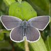 Small Blue, Cupido minimus 1532