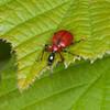 Hazel Leaf-roller Weevil, Apoderus coryli 0761