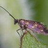 Red-barred Gold, Micropterix tunbergella 1565