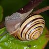 White-lipped Snail, Cepaea hortensis 1490