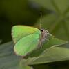 Green Hairstreak, Callophrys rubi 0770