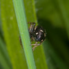 Jumping spider, Heliophanus flavipes 0699