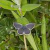 Small Blue, Cupido minimus 1530