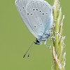 Small Blue, Cupido minimus P1250427