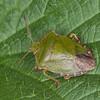 Green Shieldbug, Palomena prasina 9679