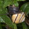 White-lipped Snail, Cepaea hortensis 1451