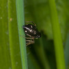 Jumping spider, Heliophanus flavipes 0698