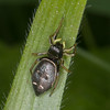 Jumping spider, Heliophanus flavipes 0714