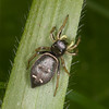 Jumping spider, Heliophanus flavipes 0710