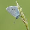 Small Blue, Cupido minimus P1250439