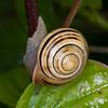 White-lipped Snail, Cepaea hortensis 1491