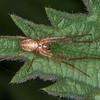 Spider, Metellina species 9658