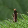 Plain Gold, Micropterix calthella 9736