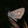 Brown Argus, Aricia agestis 1201