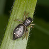 Jumping spider, Heliophanus flavipes 0711