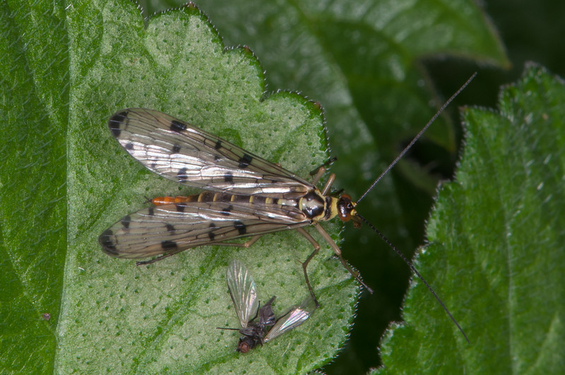 Scorpion fly female, Panorpa species 9677