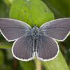 Small Blue, Cupido minimus 1533