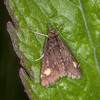 Small Purple and Gold, Pyrausta aurata 1441