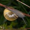 White-lipped Snail, Cepaea hortensis 1424