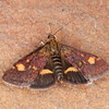 Small Purple and Gold, Pyrausta aurata 0363