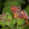 Common Purple and Gold, Pyrausta purpuralis 9276