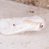 Brown-tail, Euproctis chrysorrhoea 0357