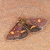 Small Purple and Gold, Pyrausta aurata 0362