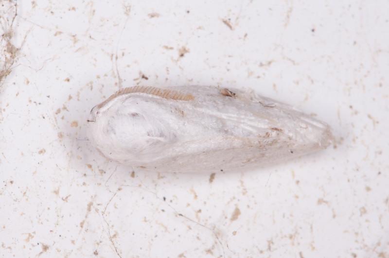 Brown-tail, Euproctis chrysorrhoea 0356