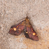 Small Purple and Gold, Pyrausta aurata 0366