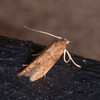 moth, Blastobasis vittata 0372