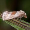 Red-fringed Conch, Falseuncaria ruficiliana 9332
