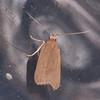 Ash-coloured Sober, Acompsia cinerella 9244