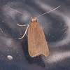 Ash-coloured Sober, Acompsia cinerella 9248
