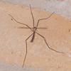 Cranefly noid 5174