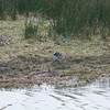 Pied Wagtail, Motacilla alba 5262