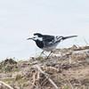Pied Wagtail, Motacilla alba 5135
